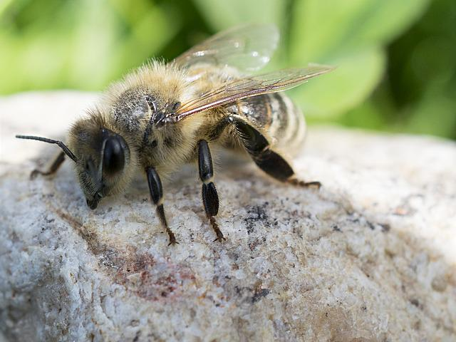 Bee, Macro, Close-up Photography, Landscape