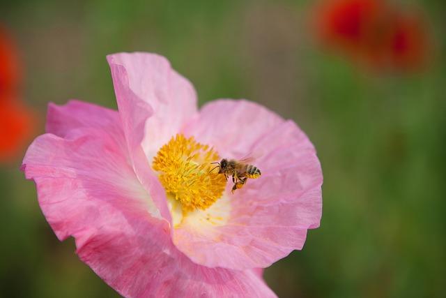 Bee, Poppy, Pink, Flowers, Pink Flowers