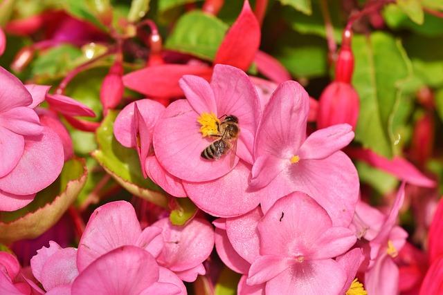 Begonia, Schiefblatt, Skew Sheet Plant, Bee, Sprinkle