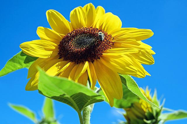 Sunflower, Flower, Bloom, Yellow, Bee, Sky