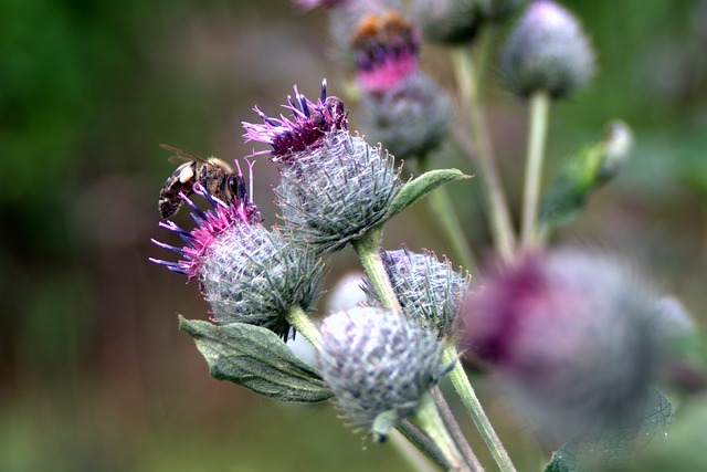 Thistle, Flower, Bee, Meadow, Summer, Plant, Spikes