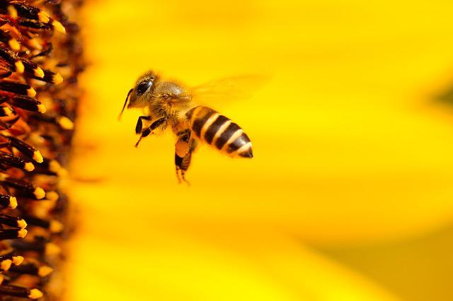 Bee, Insect, Sun Flower, Yellow, Summer, Close, Flower