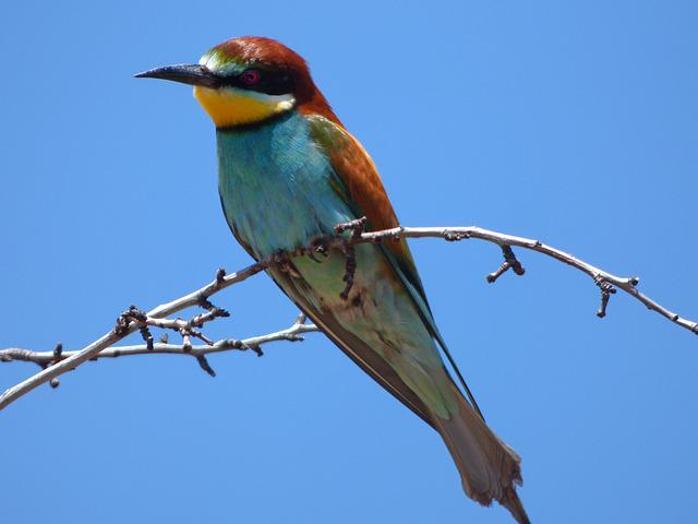 Bee-eater, Abellerol, Merops Apiaster, Branch, Sky