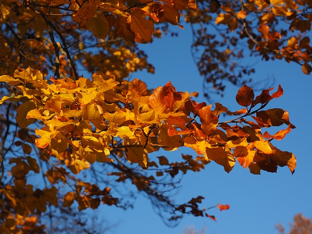 Branch, Leaves, Beech, Fall Foliage, Golden, Fall Color