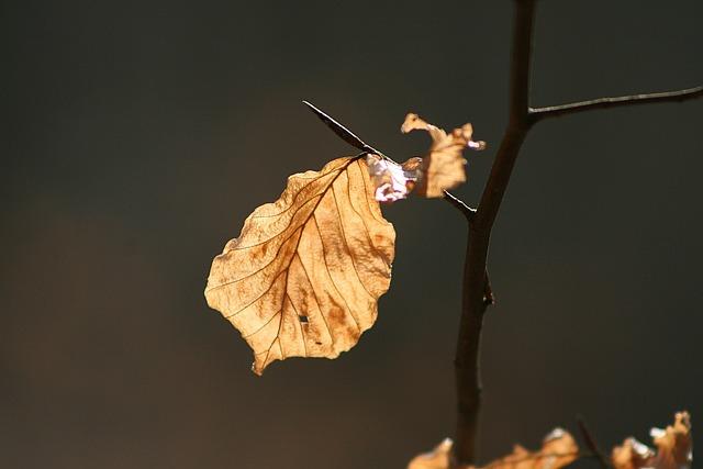 Beech Leaf, Dry, Light