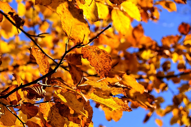 Beech, Tree, Autumn, Leaves, Branch, Landscape, Nature