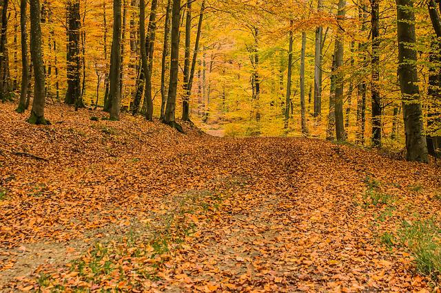 Deciduous Forest, Beech Wood, Trees, Forest