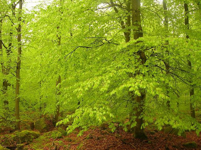 Beech Forest, Book, Beeches, Green, Spring, Forest