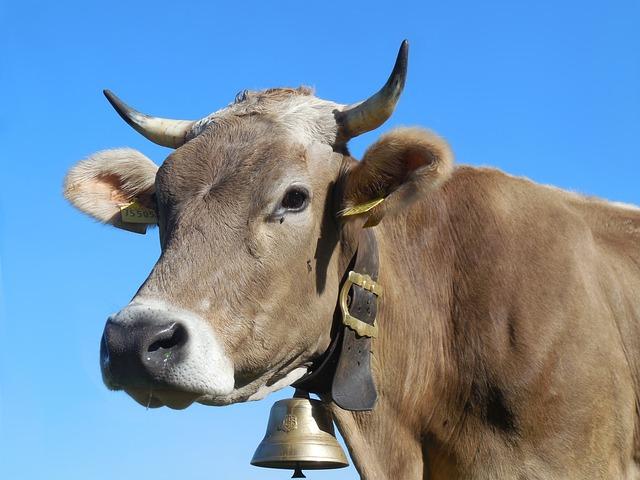 Cow, Allgäu, Allgäu Brown, Beef