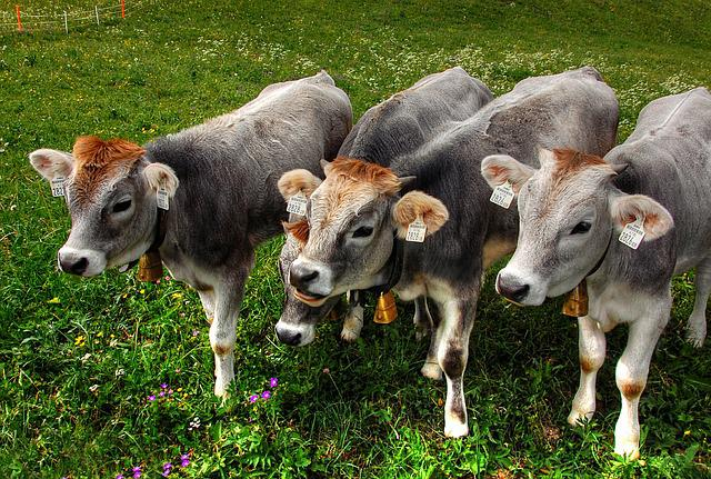 Calves, Alm, Cow, Pasture, Agriculture, Beef, Livestock