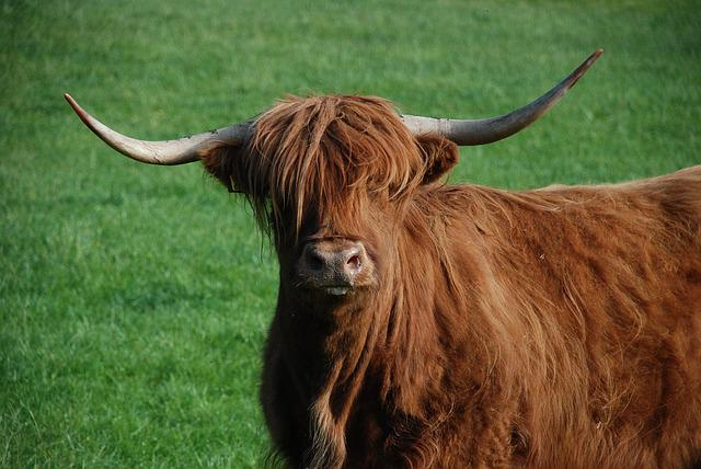 Beef, Cow, Highlandrind, Highland Cattle, Highland Beef