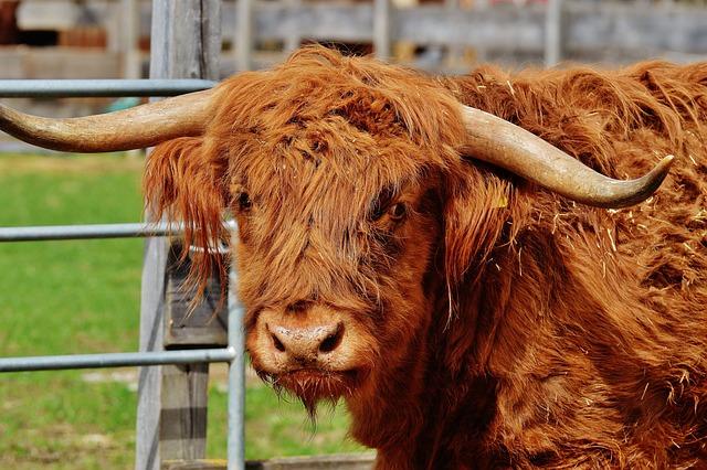Bull, Beef, Horns, Farm, Animal, Wildlife Photography