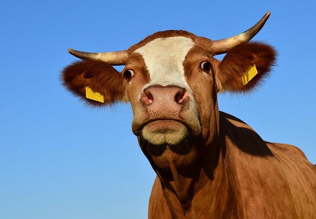 Cow, Beef, Pasture, Livestock, Animal, Mammals