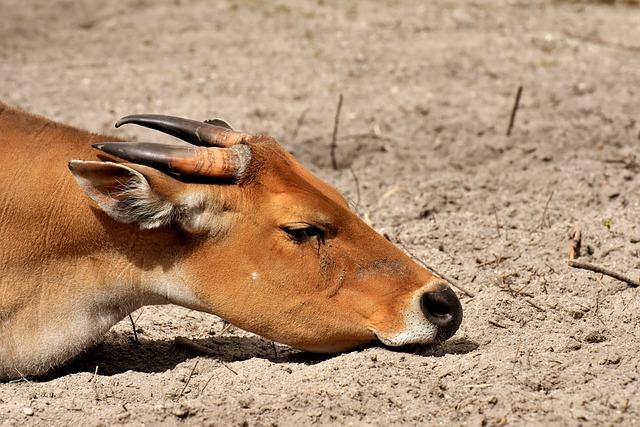 Banteng, Beef, Bos Javanicus, Sleep, Wild