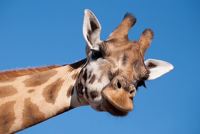Giraffe, Long Neck, Zoo, Animal, Mammal, Beekse Bergen