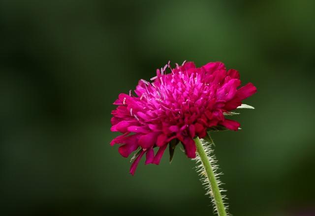 Knautia Macedonica, Beemdkroon, Flower, Garden Plant