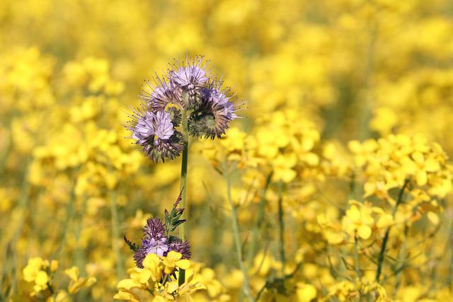 Phacelia, Field Of Rapeseeds, Bees, Bee Friend