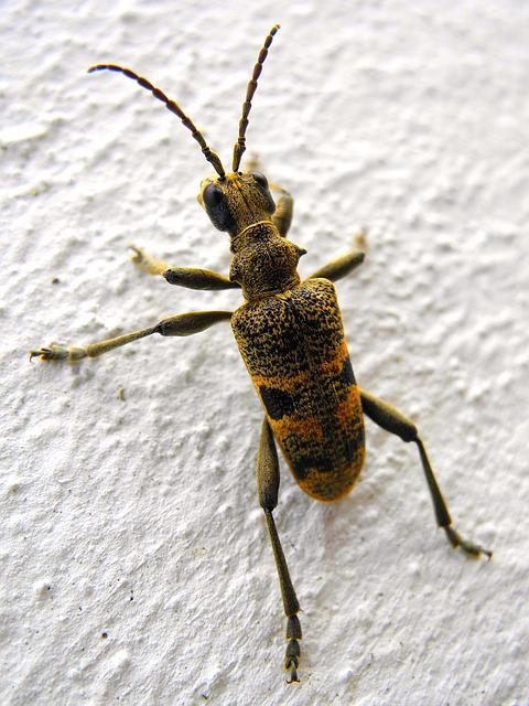 Beetle, Insect, Nature, Beetles, Longhorn Beetles