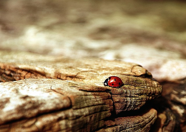 Ladybug, Brown, Nature, Beetle, Insect, Lucky Charm