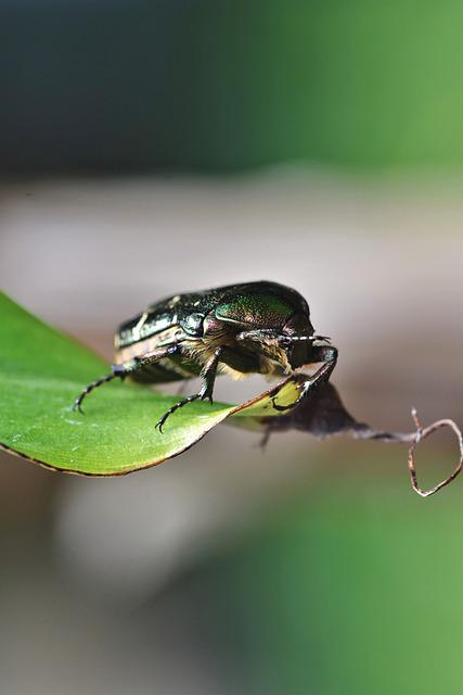 Rose Beetle, Beetle, Insect, Iridescent, Green, Shiny