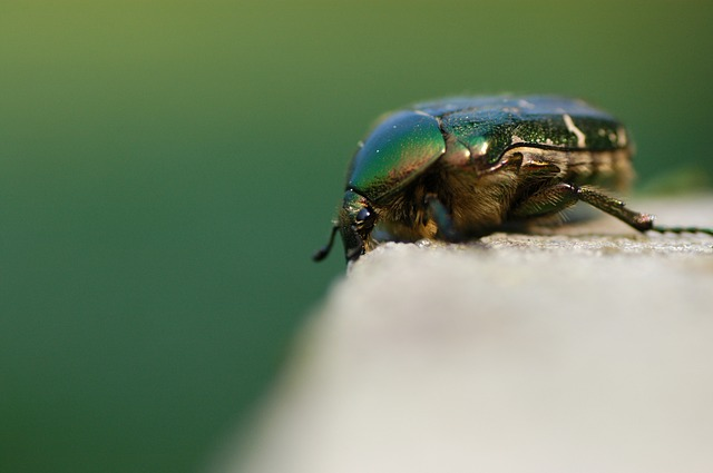 Rose Beetle, Beetle, Insect, Common Rose Beetle