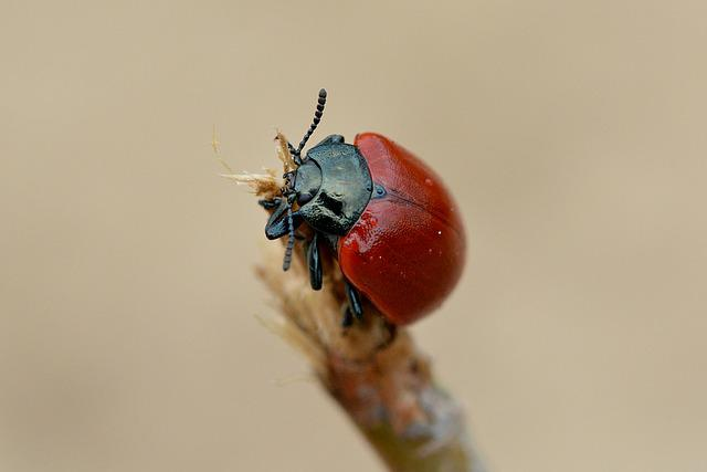 Beetle, Red, Red Beetle, Insect, Close Up, Macro