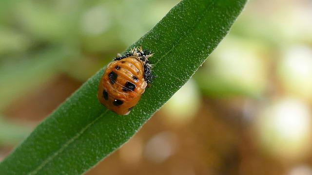 Larva, Beetle, Ladybug, Marienkäfer Larva, Insect