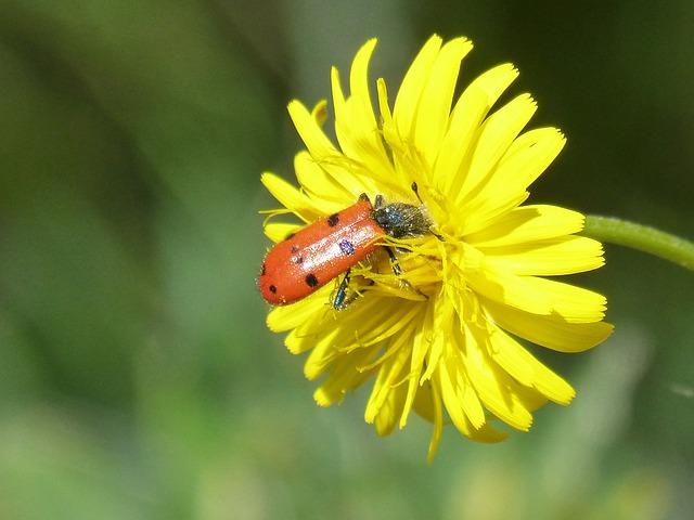 Beetle Meloideo, Pollen, Libar, False Ladybird, Insect