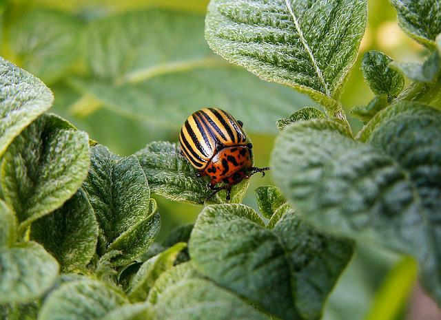 Colorado Potato Beetle, Pest, Beetle, Potato, Leaves