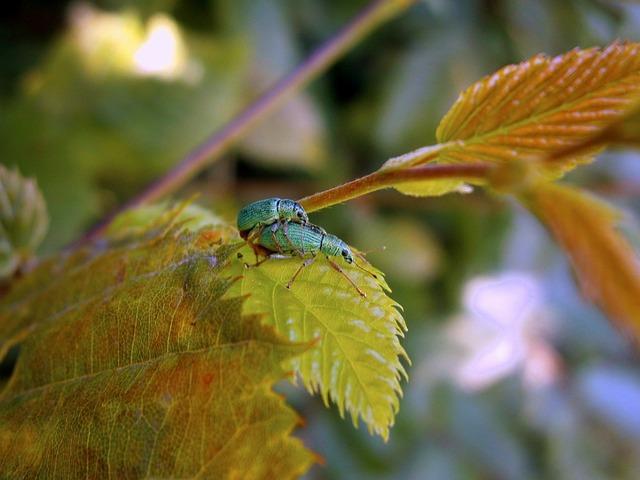 Beetle, Weevils, Green, Phyllobius, Green Rachael
