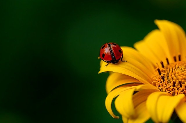 Ladybug, Insect, Beetle, Nature, Spring, Sunflower