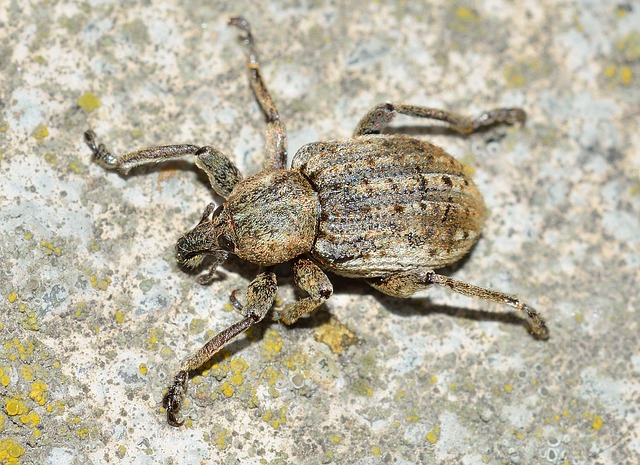Insects, Beetles, Weevil
