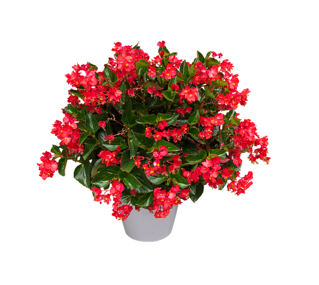 Nature, Flower, Blossom, Bloom, Begonia, Isolated