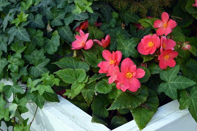 Begonia Tuber, Begonia Pink, Begonia Flowers, Begonia