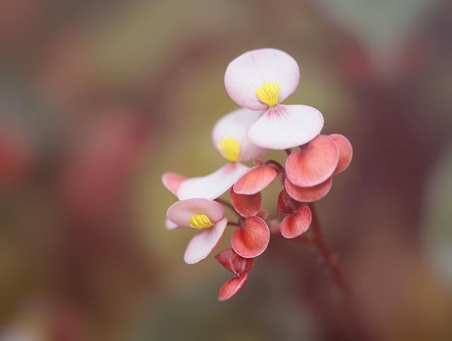 Begonia, Houseplant, Ornamental Plant, Blossom, Bloom