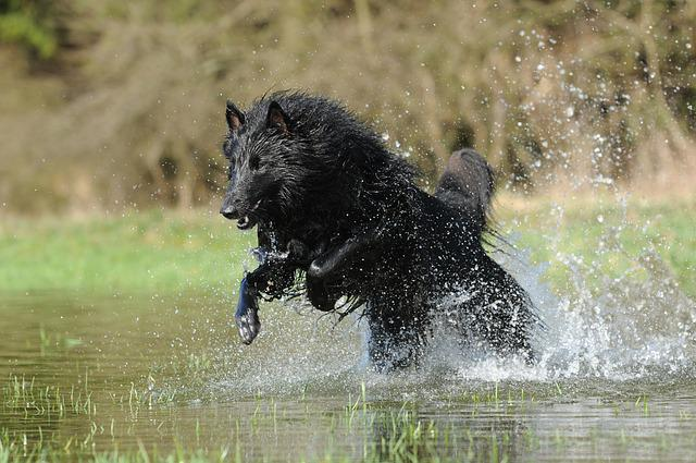 Belgian Shepherd Dog, Water, Dog, Cooling
