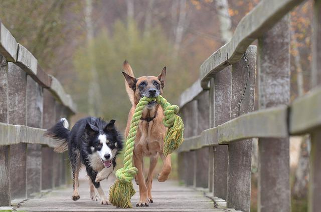 Malinois And Border Collie, Belgian Shepherd Dog
