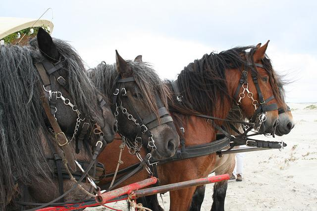 Horses, Belgians, Four-horse, Covered Wagon, Beach