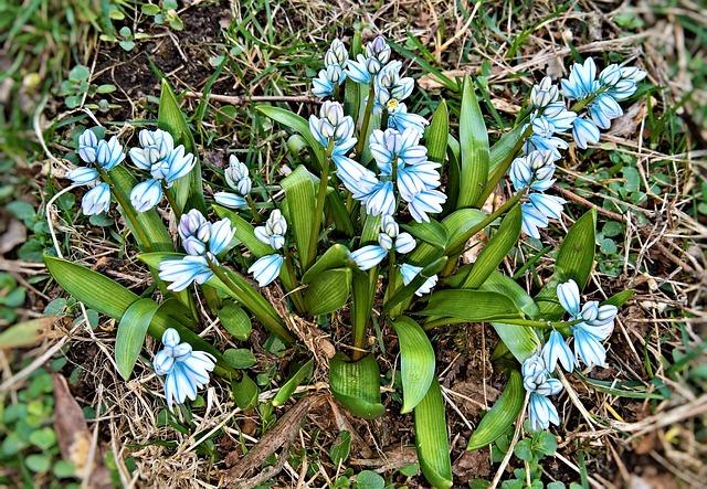 Flowers, Hyacinth, Bell Hyacinths, Spring Flowers