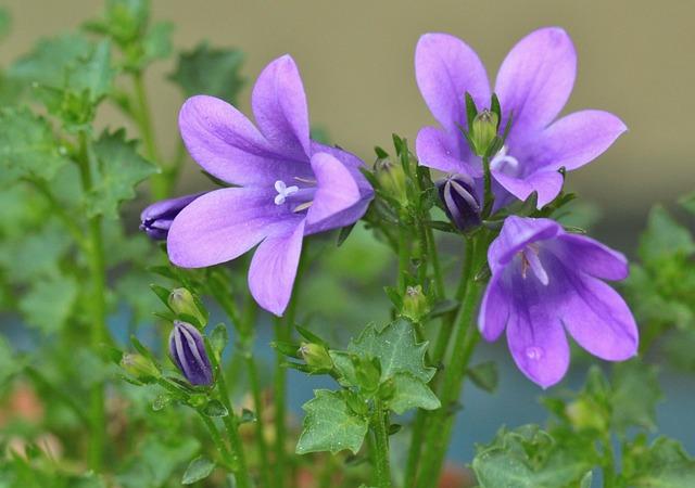 Bellflower, Flower, Bell, Bluebells, Flowers