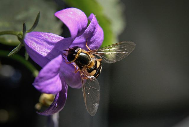 Insect, Hoverfly, Blossom, Bloom, Bellflower, Purple