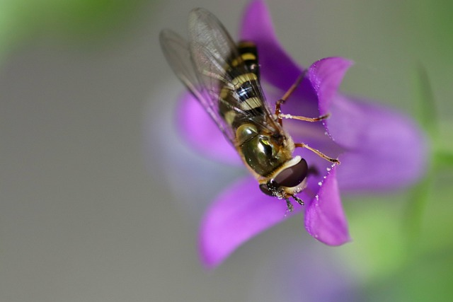 Hoverfly, Insect, Bellflower, Blossom, Bloom, Wing, Fly