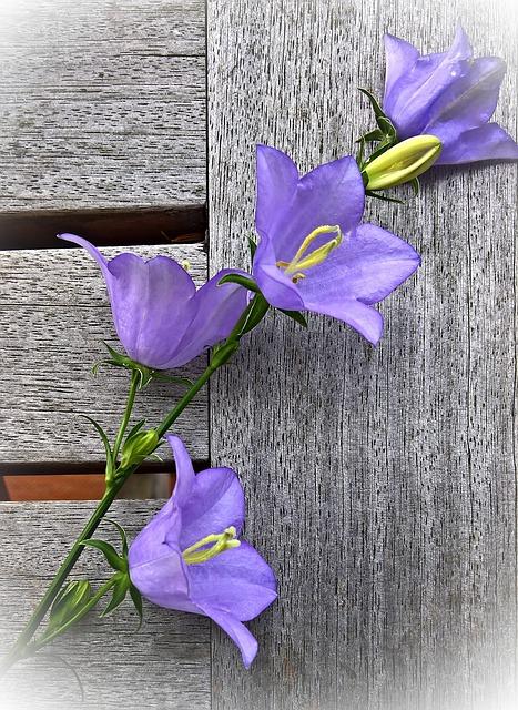 Flower, Bellflower, Shrub, Flower Panicle