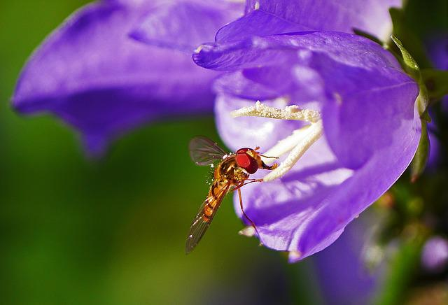 Hoverfly, Bellflower, Stamens, Landed, Pollination