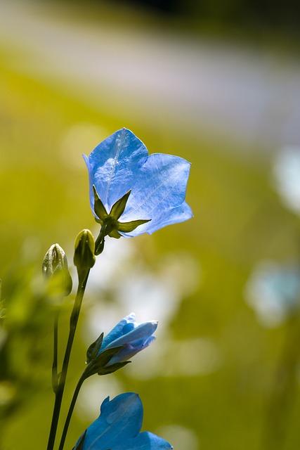 Flowers, Bellflowers, Blue, Blue Flowers, Petals