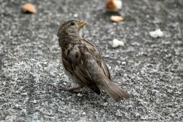 Bird, Crumbs, Balcony, Bellinzona, Switzerland