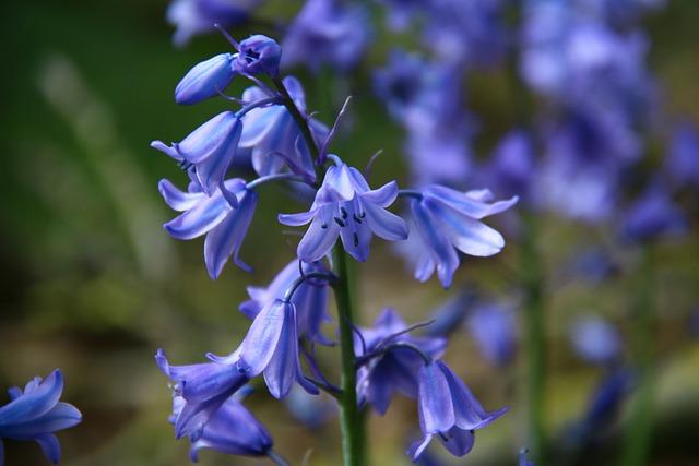 Bellflower, Bells, Blue, Plant, Flower, Garden