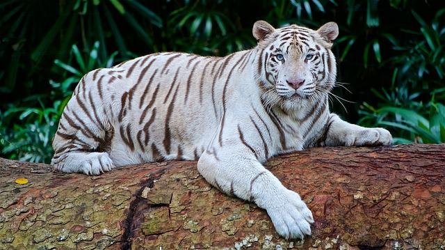 White Tiger, Panthera Tigris Tigris, Bengal Tiger