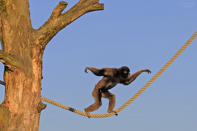 Berber Monkey, Monkey, Monkeys, Zoo