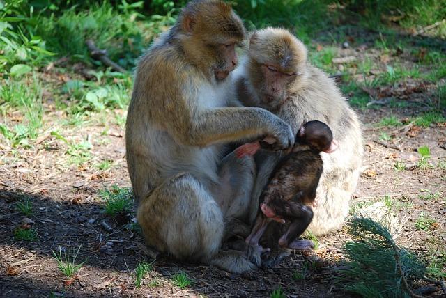 Ape, Berber Monkeys, Family, Monkey Child